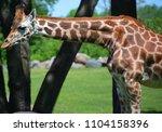 the giraffe  giraffa...   Shutterstock . vector #1104158396
