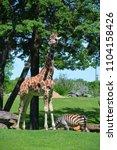 the giraffe  giraffa...   Shutterstock . vector #1104158426