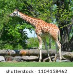 the giraffe  giraffa...   Shutterstock . vector #1104158462