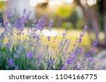 vivid purple lavender flowers... | Shutterstock . vector #1104166775