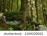tree and tree roots in a forest ... | Shutterstock . vector #1104220022