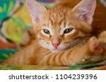 Stock photo ginger hiding kitten peeking frightened ginger kitten frightened kitten on the couch kitten behind 1104239396