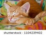 Stock photo ginger hiding kitten peeking frightened ginger kitten frightened kitten on the couch kitten behind 1104239402