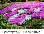 Blooming Purple  Pink  White...