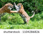 siberian tigers are fighting... | Shutterstock . vector #1104286826