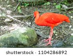 red shiny ibis standing in the...   Shutterstock . vector #1104286892