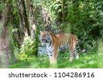 siberian tiger in the...   Shutterstock . vector #1104286916