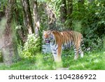 siberian tiger in the...   Shutterstock . vector #1104286922