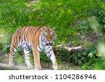 siberian tiger in the...   Shutterstock . vector #1104286946