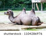camels having a rest sitting on ...   Shutterstock . vector #1104286976