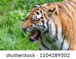 siberian tiger in the... | Shutterstock . vector #1104289502