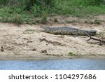 nile crocodile in kruger... | Shutterstock . vector #1104297686