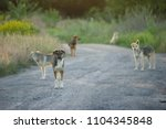 a flock of stray dogs on the... | Shutterstock . vector #1104345848