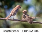 house finch feeding a young...   Shutterstock . vector #1104365786