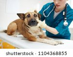 Stock photo cute shepherd dog lying on medical table while vet examining it in clinics 1104368855