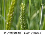 detail of a green emmer wheat ... | Shutterstock . vector #1104390086