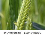 detail of a green emmer wheat ... | Shutterstock . vector #1104390092