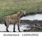 portrait of a hyena | Shutterstock . vector #1104415052