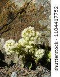 blossom of a butterbur in april ... | Shutterstock . vector #1104417752