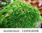 A Thick Green Moss Settled On...