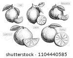 vector illustration of citrus... | Shutterstock .eps vector #1104440585