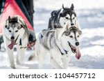 Dog Sledding. Siberian Husky...