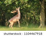 Proud Male Fallow Deer Stag ...
