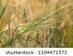 detail of the barley spike | Shutterstock . vector #1104471572