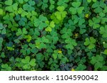 Small photo of Green background with shamrock/ nature background, shamrock plant