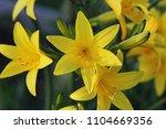 branch of flower hemerocallis... | Shutterstock . vector #1104669356