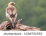 Small photo of Booted Eagle, Aquila pennata