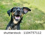 Stock photo close up picture of funny happy mixed breed black and brown dog with open mouth with wihte teeth 1104757112