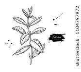 stevia  vector drawing. herbal... | Shutterstock .eps vector #1104797972
