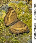 Small photo of Chocolate Pansy (Precis iphita) butterfly open wings at rest