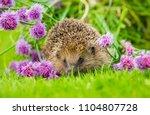 hedgehog  wild  native ... | Shutterstock . vector #1104807728