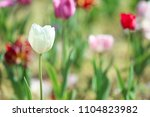 beautiful blossoming tulip... | Shutterstock . vector #1104823982