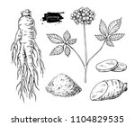 ginseng drawing. medical plant... | Shutterstock . vector #1104829535