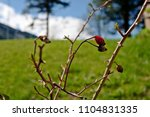 Stock photo rose hip in spring with green background 1104831335