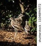 bush stone curlew bird | Shutterstock . vector #1104894572