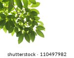 green leaves on white background | Shutterstock . vector #110497982