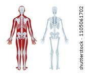 human skeleton. human body... | Shutterstock .eps vector #1105061702