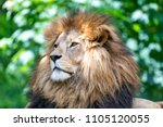 Big Male African Lion With...