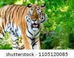 siberian tiger in the... | Shutterstock . vector #1105120085