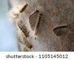 oak processionary  caterpillar... | Shutterstock . vector #1105145012