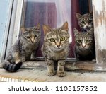 Stock photo a group of gray cats sit on a window sill and look at the camera 1105157852