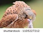 the common kestrel eating prey | Shutterstock . vector #1105227212