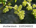 close up of flowering grape... | Shutterstock . vector #1105240022