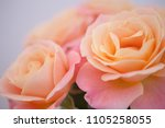 buds of pastel peach pink roses ... | Shutterstock . vector #1105258055