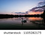Swan On The Lake During Purple...