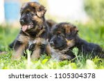 puppies of german shepherd... | Shutterstock . vector #1105304378